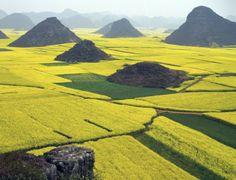 Koolzaadvelden in Luoping in het zuiden van China - © Thinkstock