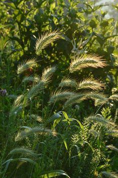 Prairie Moon Nursery :: Seeds :: Elymus canadensis (Canada Wild Rye)