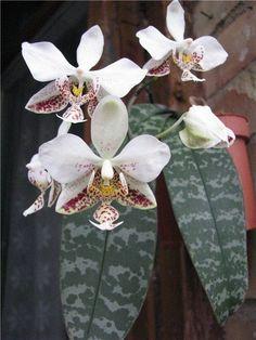 Strange Flowers, Rare Flowers, Exotic Flowers, Tropical Flowers, Orchids Garden, Orchid Plants, Potted Plants, Rare Orchids, Phalaenopsis Orchid
