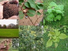 Validated and Potential Medicinal Rice Formulations for Diabetes (Madhumeh) and Cancer Complications and Revitalization of Kidney (TH Group-168) from Pankaj Oudhia's Medicinal Plant Database