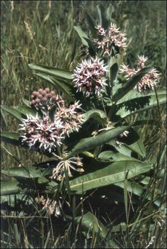 Showy Milkweed (Asclepias speciosa) Edible, medicinal, and butterfly attractant. Flowers, leaves, oil, root, seed, and seedpod are all edible. Also can be used for dye, fiber, paper making, stuffing for pillows, rubber, etc.