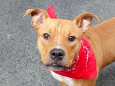 TO BE DESTROYED WED 9/24/14 Manhattan Center   BLADE - A1013848   MALE, TAN / WHITE, PIT BULL MIX, 9 mos OWNER SUR - EVALUATE, NO HOLD Reason NYCHA BAN  Intake condition UNSPECIFIE Intake Date 09/12/2014, From NY 10456, DueOut Date 09/12/2014  https://www.facebook.com/photo.php?fbid=870736269605920