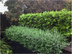 Hedging options - griselinia and fruitcans