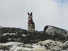 Alaskano dog