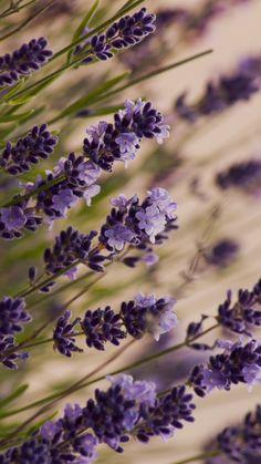 Beautiful lavender, macro, meadow iPhone 6 (6S) Plus wallpaper - 1080x1920