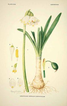 M.E. Eaton, drawing of leucojum vernum, Galantheae, Märzenbecher, 1931