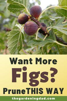 Fruit Plants, Fruit Garden, Edible Garden, Vegetable Garden, Garden Plants, Tomato Plants, Container Gardening, Gardening Tips, Fig Tree Plant