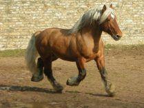 Raza de caballo percherón