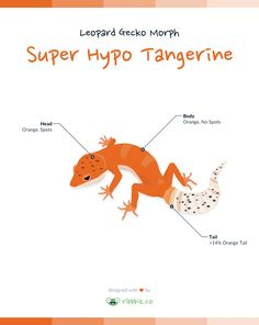 A super hypo tangerine carrot tail leopard gecko has a tangerine or orange coloration throughout the body and head, with no dark spots on the body.