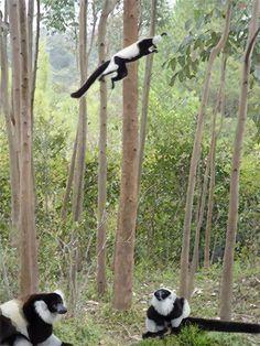 Black and White Lemurs in Madagascar.