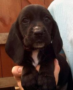 Bassadors (Basset Hound-Lab mix)...YES! Cute floppy ears & easygoing personalities!!!