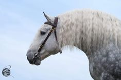 Big dapple gray Percheron draft horse. #grayhorses