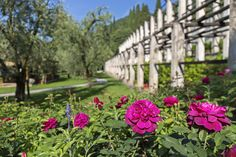 David Austin roses in bloom at Villa Feltrinelli. #lake #garda #villafeltrinelli #grandhotel #garden #park #flowers
