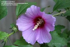 hibiscus syriacus common name - Google Search