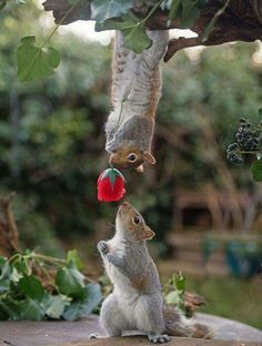A romantic squirrel appears to have presenting his love interest with a bright red rose. The shot was taken by renowned squirrel photographer Max Ellis, from Teddington, South West London . Cute Creatures, Beautiful Creatures, Animals Beautiful, Romantic Animals, Majestic Animals, Nature Animals, Animals And Pets, Cute Baby Animals, Funny Animals