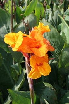 The Canna Lily is a tropical garden classic!