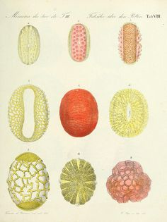 Fritzsche über den Pollen Tab VIII | Ueber den Pollen,.  St.-Petersburg :Kais. Academie der Wissenschaften,1837..  biodiversitylibrary.org/page/32594254 | n144_w1150 by BioDivLibrary, via Flickr