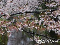 京都 哲学の道 桜 2012/04/14