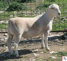 1000 Images About Sheep On Pinterest Lamb Meat And The