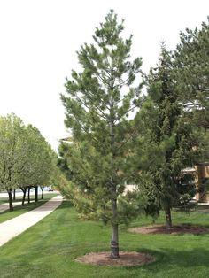 Mature Vanderwolf Pine Tree, very open and graceful.