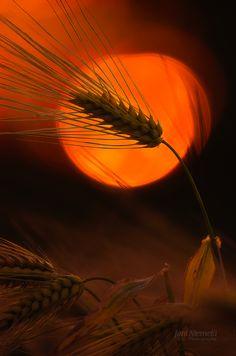 Sunset Barleys by Nitrok