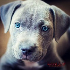 I Love  me some Pitbulls! I really want me another Puppy  because she is so Damn Sexy! Pure Blue Nose Pit!  Look at those eyes... So Adorable! #PitBull #PitBulls #Bullies #BlueNose #RedNose #LavaLab #Puppy #Pits #Dogs #AnimalLover #Animal #Pets #FollowMe
