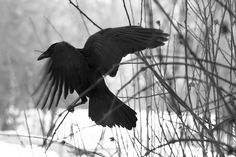 black bird by BarbaraWilli, via Flickr