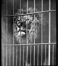 Lion peers out of an animal cage wagon