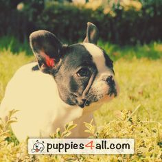 Find your lovely buddy today! Loyal Friends, Best Friends, Dog Days, Boston Terrier, Dog Lovers, Finding Yourself, Thankful, Puppies