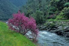 eastern red bud trees | red_bud_tree_river