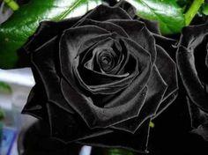 Stunning black rose. Black roses exist naturally only at Halfeti, Turkey.