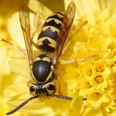 Hornet!  Call A1 Bee Specialists in Bloomfield Hills, MI today at (248) 467-4849 to schedule an appointment if you've got a stinging insect problem around your house or place of business!