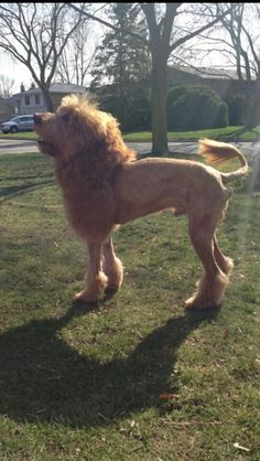 a girl at my school shaved her dog to look like a lion