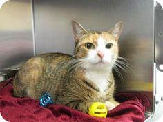 Keswick, ON - Domestic Shorthair. Meet Dayna, a cat for adoption. http://www.adoptapet.com/pet/16421643-keswick-ontario-cat