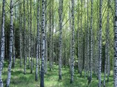 One day I found myself in a forest of birch trees and realized I was standing in the Marimekko Woods. I took a photo. Finnish design, like these birch trees, will always be reborn in another form. Finns take inspiration from nature and spin it into beloved objects, architecture and a blueprint for a way to live. The very essence of Finnish design is in its ability to take the natural world and seamlessly weave it into everyday life.