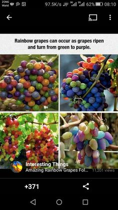 Rainbow Grape Vine Seeds PATIO SYRAH Vitis Vinifera Houseplant 50 PCS/Bag bonsai have delicious fruit seed real Fruit Seeds, Rare Species, Vitis Vinifera, Garden Seeds, Green And Purple, Bunt, Ikebana, Balloons, Raisin