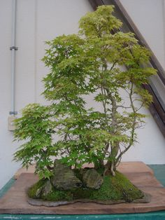 石付盆栽 bonsai on the rock