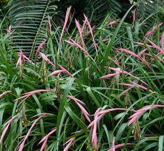 Fiji fire plants subtropical pinterest fiji plants and planting billbergia nutans thecheapjerseys Gallery