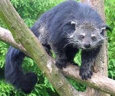 Binturong.... We saw this at Santa Ana zoo.  SUCH a cool animal.  Alex wants to do more research.  Must find videos.