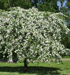 Rautatienomenapuu – Malus 'Hyvingiensis' (hängapel),