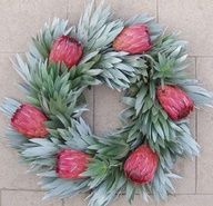 'Pink ice' proteas nestled in the furry leaves of silvertree (Leucadendron argenteum). Classy wreath for Christmas!