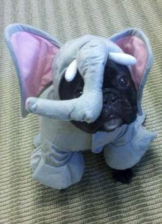 'I'm an Elephant for Halloween', French Bulldog Puppy.