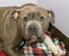 Scully - American Staffordshire Terrier - Female - 2 yrs old - Gastineau Humane Society -Juneau, AK. - http://www.ghspets.org/adoptable-pets.html - https://www.facebook.com/GHS.pets/ - https://www.petfinder.com/petdetail/35773327