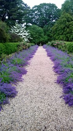 Catmint as path border at driveway A Visit to Planting Fields Arboretum