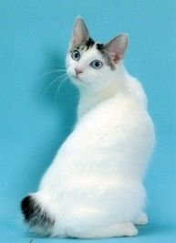 Facts about Japanese Bobtail Cat and their Tails | Annie Many