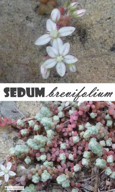 Sedum brevifolium - tiniest stonecrop... Hardy Succulents | Fairy Garden Plants