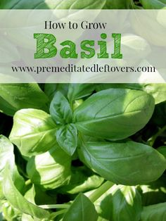 How to Grow Basil, including how to plant basil seedlings, how to grow basil in containers, how to care for basil seedlings, and how to harvest basil.