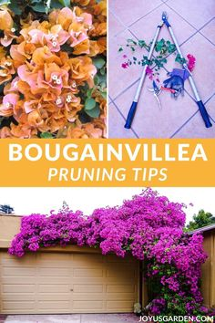 New to pruning bougainvillea? Here you'll learn plenty about when & how to prune bougainvillea. And, how to bring on that big show of color! Succulent Gardening, Container Gardening, Garden Plants, Gardening Tips, Pool Plants, Fruit Garden, Vegetable Gardening, House Plants, Bougainvillea Trellis