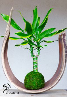 El kokedama Dracaena es uno de los que se adaptan más facilmente a interiores y requieren de un cuidado básico. Sus grandes hojas verdes llenan los espacios de un contraste fresco y natural. CUIDADOS La Dracaena es un arbusto perenne con uno o varios troncos. Luz: Tolera bien la sombra, para mantener el color …