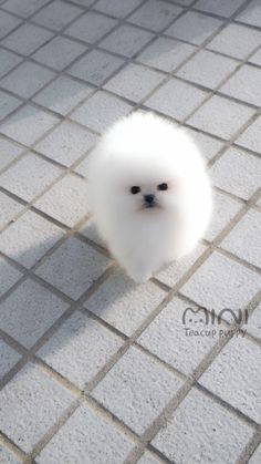 Cute White Puppies, Cute Baby Puppies, Mini Puppies, Cute Animals Puppies, Cute Cats And Dogs, Cute Little Animals, Cute Funny Animals, Toy Pom Dog, White Pomeranian Puppies